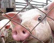 продажа свиней донецк,  свинина живым весом,  продам свиней