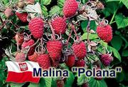 саженцы ремонтантной малины Polana