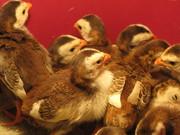 Птенцы цесарок - суточные,  подрощенные