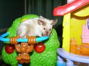 Сиамская мышь