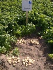 семенной картофель для Профессионалов