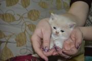 плюшевые котята  скотиш-страйт