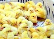 Инкубация яиц разных видов птиц
