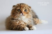 Шотландские котята,  хайленды