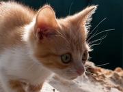 Рыжий с белым котенок,  2 мес,  отдам в хорошие руки