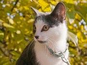Метис голубого британского котенка с белыми пятнами,  кастрирован,  5мес