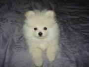 Белоснежные щенки миниатюрного шпица