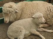 Продаются овцы и ягнята на развод