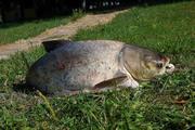 Продам живую рыбу (толстолобик 4-5 кг.) тел. 066-50-60-710 Донецкая об