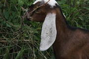 Козлик нубийский-93, 5%