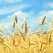 Куплю зерновые и масличные большими партиями