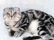 Мраморный кот с родословной,  для вашей кошечки.