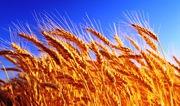 Куплю пшеницу рапс сою подсолнечник ячмень