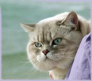 Шотландский страйт для Вашей кошечки-вислоушки
