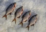 Купить рыбу оптом. Плотва,  густера,  судак,  лещ,  окунь и др.