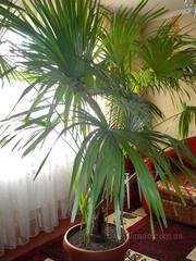 Продам пальму Вашингтония
