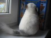 Шиншиллы белый вильсон