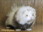 Питомник декоративных хорьков «Valley of ferrets»